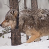 Snowy morning in Yellowstone - June '08<br />     This wolf has a tracking collar.