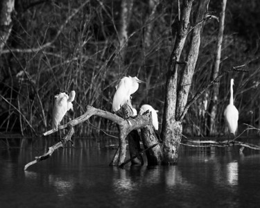 From a magical egret rookery in Salisbury, Massachusetts (click for blog entry).