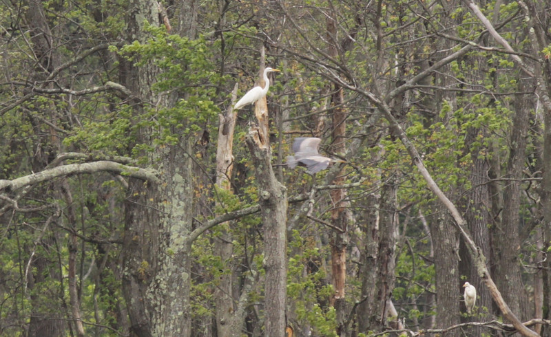 Great egrets & a great blue heron