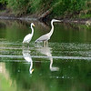 At the south end of Poxono Island a great egret & a great blue heron share a mud shoal.