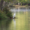 6 October 2010 a great egret retreats to the opposite end of McCormack Lake.