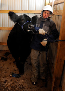 Jake Wagner leads one the family show animals for prepping on Wednesday. The Wagner family of Erie work long hours to prepare their animals for the National Western Stock Show in Denver this month. For a photo gallery and video, go to www.dailycamera.com. Cliff Grassmick / January 6, 2010