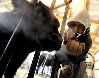 Jake Wagner, 14, does some fine clipping work on one of the show steers for the stock show. The Wagner family of Erie work long hours to prepare their animals for the National Western Stock Show in Denver this month. For a photo gallery and video, go to www.dailycamera.com. Cliff Grassmick / January 6, 2010