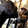 "Jake Wagner, 14, does some fine clipping work on one of the show steers for the stock show.<br /> The Wagner family of Erie work long hours to prepare their animals for the National Western Stock Show in Denver this month.<br /> For a photo gallery and video, go to  <a href=""http://www.dailycamera.com"">http://www.dailycamera.com</a>.<br /> Cliff Grassmick / January 6, 2010"
