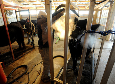 Jake Wagner, 14,  right, blows up the hair on his steer, while his brother, Jarrett, 12, combs his  animal during a cold Wednesday morning. The Wagner family of Erie work long hours to prepare their animals for the National Western Stock Show in Denver this month. For a photo gallery and video, go to www.dailycamera.com. Cliff Grassmick / January 6, 2010