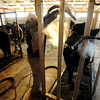 "Jake Wagner, 14,  right, blows up the hair on his steer, while his brother, Jarrett, 12, combs his  animal during a cold Wednesday morning.<br /> The Wagner family of Erie work long hours to prepare their animals for the National Western Stock Show in Denver this month.<br /> For a photo gallery and video, go to  <a href=""http://www.dailycamera.com"">http://www.dailycamera.com</a>.<br /> Cliff Grassmick / January 6, 2010"