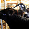 "Jake Wagner, 14, blows up the coat of one of the show steers for the stock show.<br /> The Wagner family of Erie work long hours to prepare their animals for the National Western Stock Show in Denver this month.<br /> For a photo gallery and video, go to  <a href=""http://www.dailycamera.com"">http://www.dailycamera.com</a>.<br /> Cliff Grassmick / January 6, 2010"
