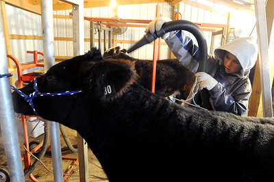 Jake Wagner, 14, blows up the coat of one of the show steers for the stock show. The Wagner family of Erie work long hours to prepare their animals for the National Western Stock Show in Denver this month. For a photo gallery and video, go to www.dailycamera.com. Cliff Grassmick / January 6, 2010