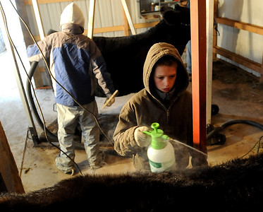 Jarrett Wagner, 12, right, conditions the steer's coat while his brother Jake combs  and animal in the background. The Wagner family of Erie work long hours to prepare their animals for the National Western Stock Show in Denver this month. For a photo gallery and video, go to www.dailycamera.com. Cliff Grassmick / January 6, 2010
