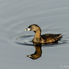 Pied=billed grebe