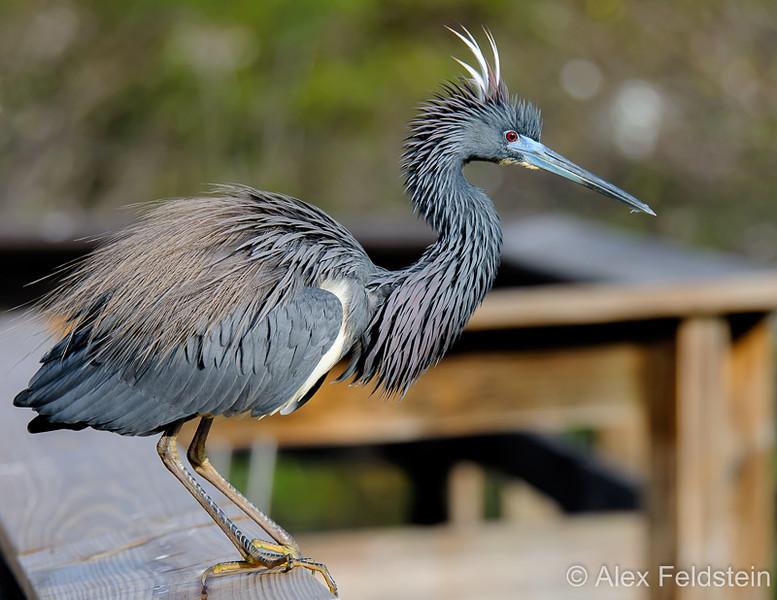 Tri-color heron in breeding colors