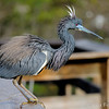 Tri-color heron in breeding colors