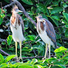 Young tri-color herons