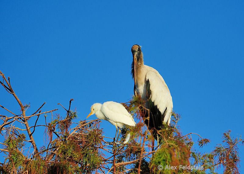 Cattle egret & wood stork