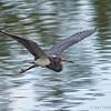 Tri-color heron