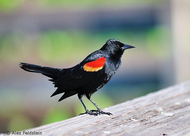 Red-wing black bird