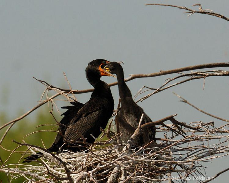 Baby double breasted cormorant feeding