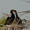Baby double breasted cormorant feeding