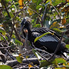 Anhinga with chikcs