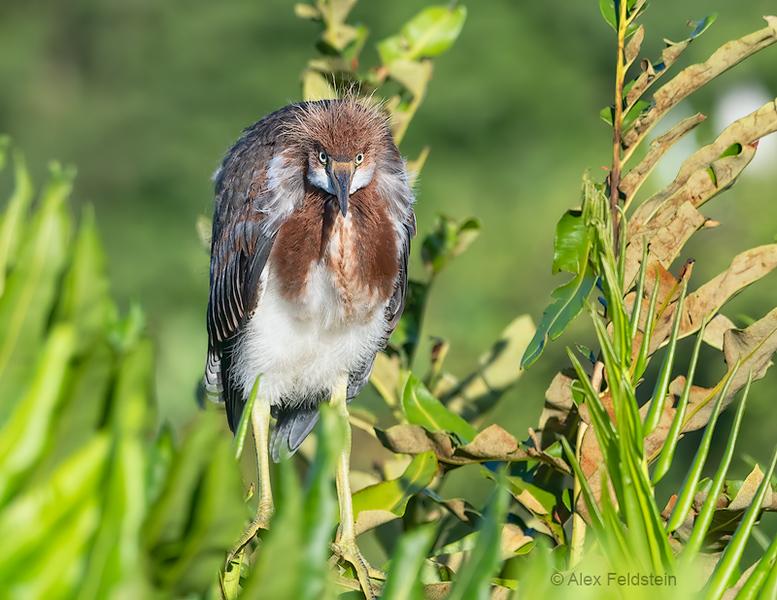Young Tri-color heron<br /> Wakodahatchee Wetlands, Florida