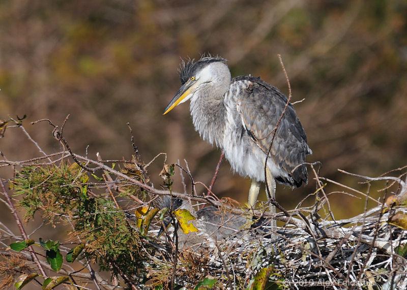 Great blue heron baby
