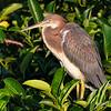 Tri-Color Heron - Juvenile