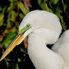 White egret in breeding colors