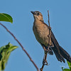 Grackle (female)