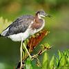 Tri-color heron (Juvenile)