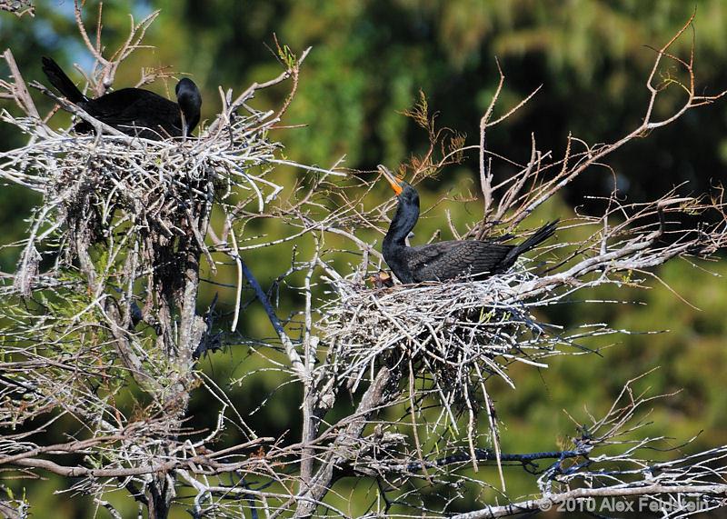 Cormorant with babies