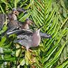 Green Herons (juveniles and mother)