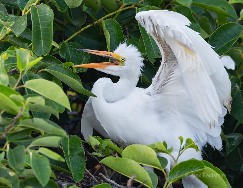 baby egret