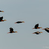 Whistling ducks