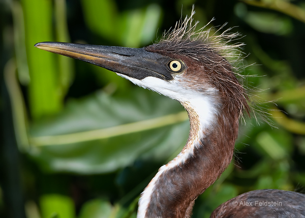 YoungTri-color heron