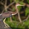 Young Tri-color heron