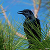 Grackle (male)