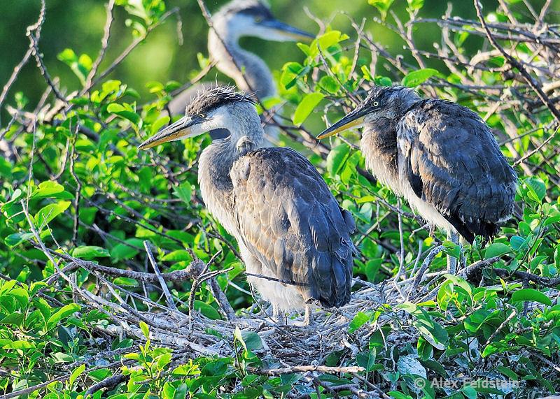 Great Blue Heron juveniles