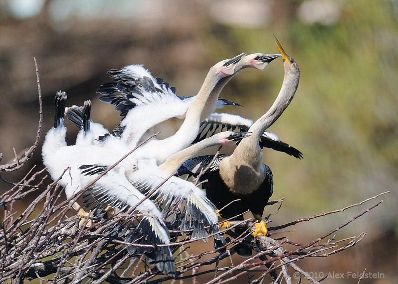 Anhinga mother being mobbed