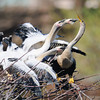 Anhinga mother being mobbed