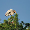 Young wood stork