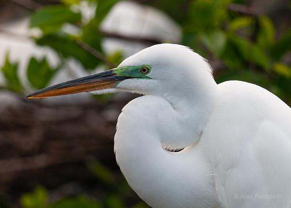 Egret in breeding plumage