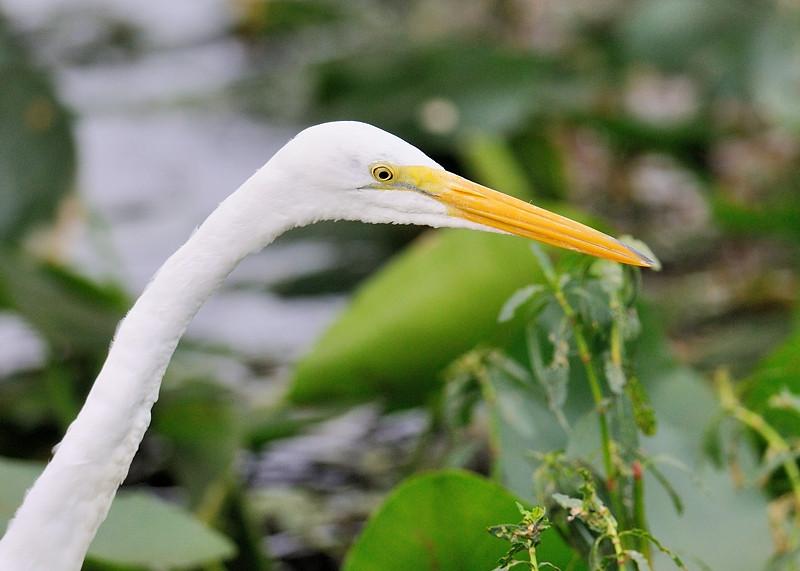 Great whte egret