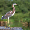 Tri-color heron (juvenile)