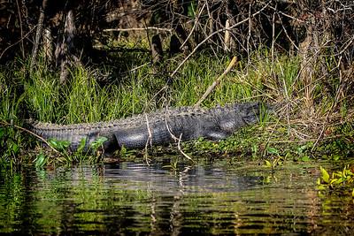 Alligator012020d