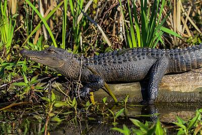 Alligator012020c