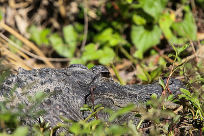 Alligator012020b