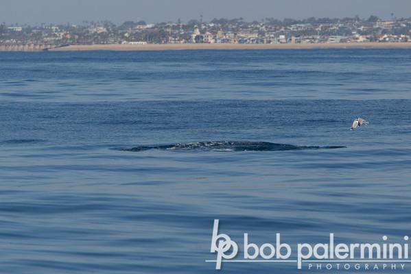 Wale Watching off Newport Beach