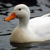 White Mallard on Duttons pond