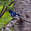 Black-throated Blue Warbler. Image taken at high ISO with low light in the forest of NE Maine.