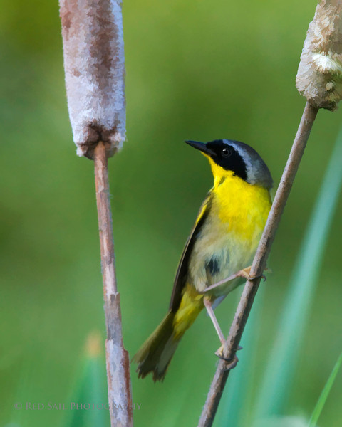 Common Yellowthroat (Geothlypis trichas) Shot taken near Fields Pond in Holden, Maine.